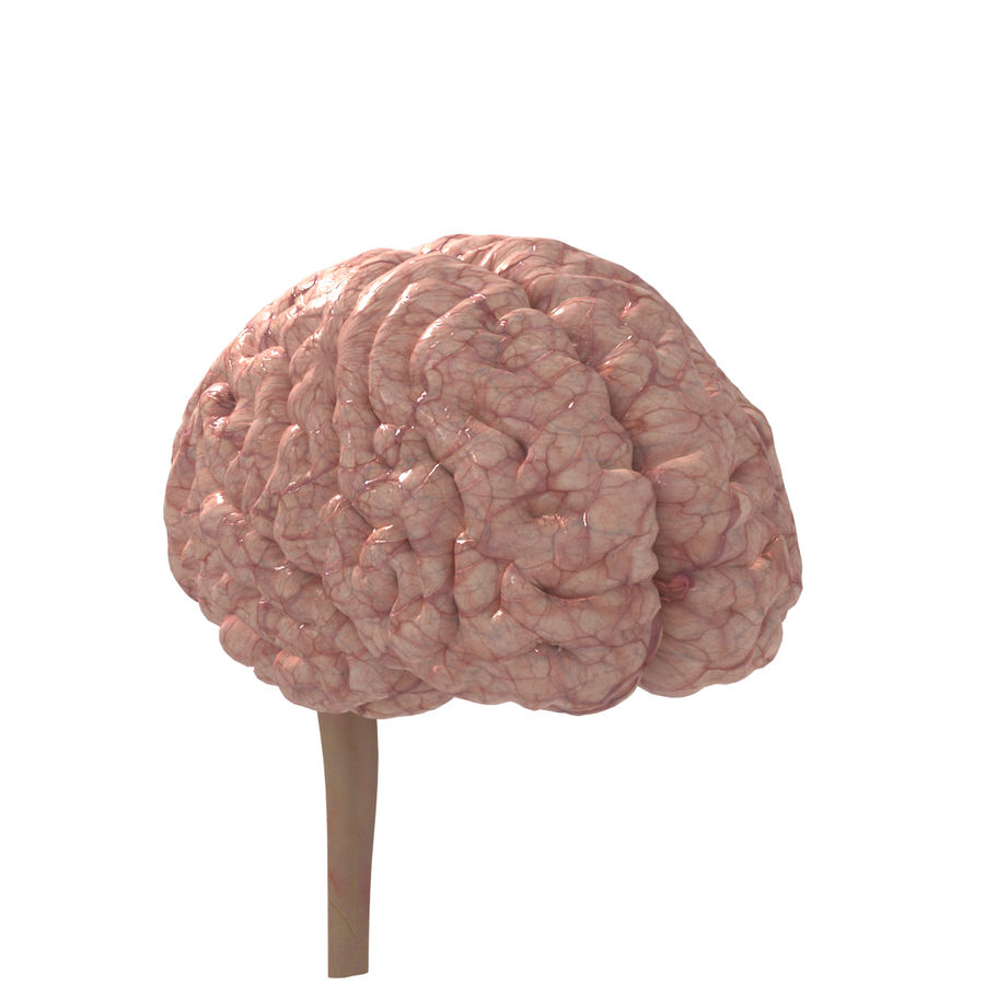 Anatomi Brain nervös hjärnsystem royalty-free 3d model - Preview no. 4
