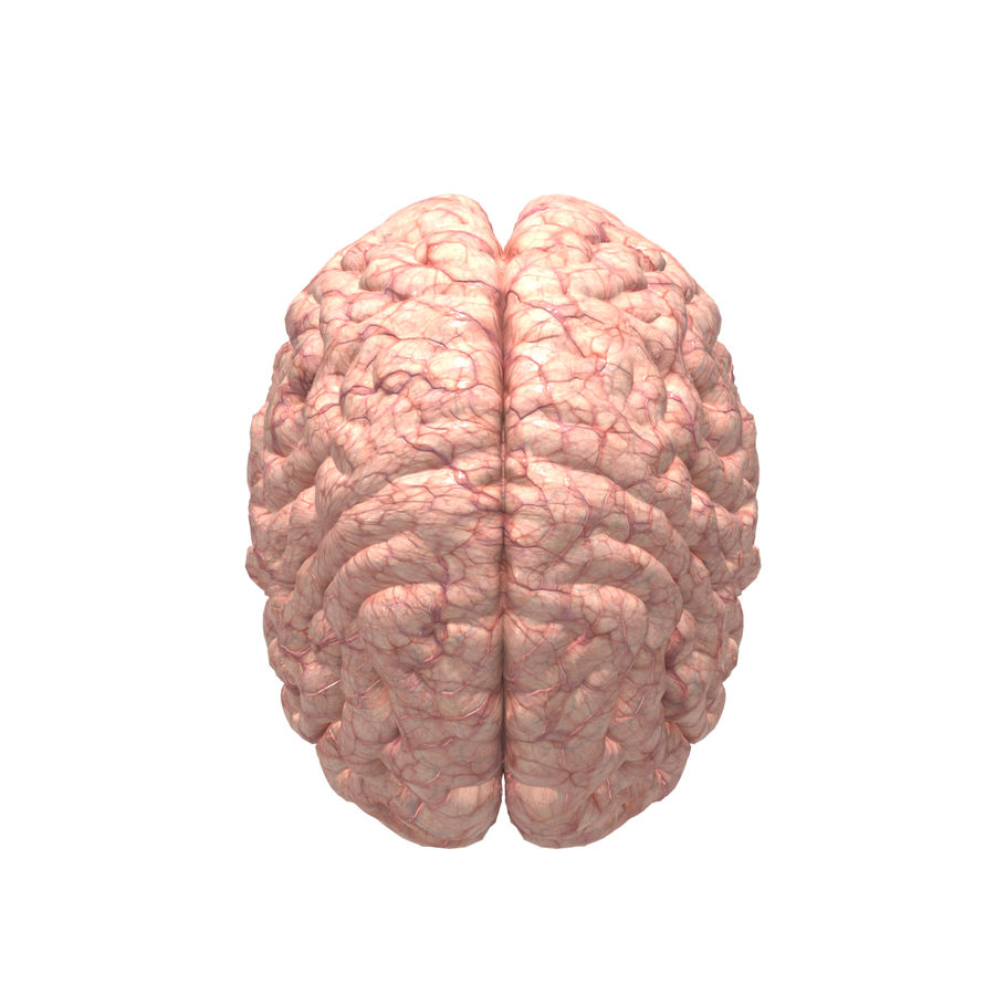 Anatomi Brain nervös hjärnsystem royalty-free 3d model - Preview no. 3