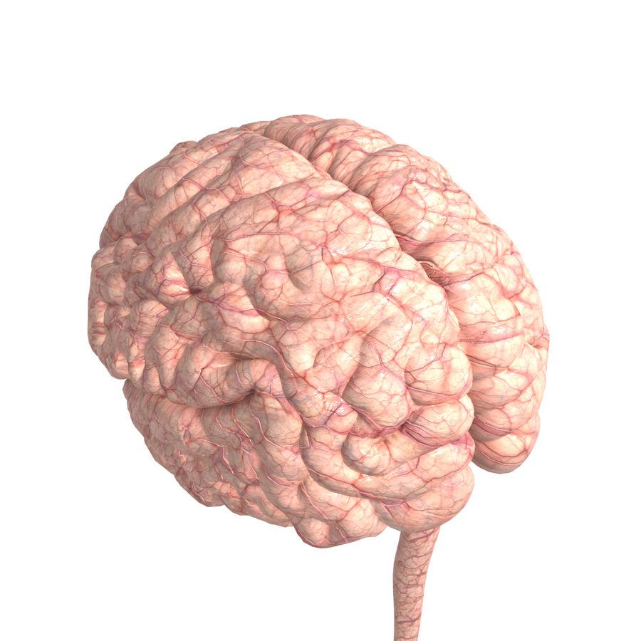Anatomi Brain nervös hjärnsystem royalty-free 3d model - Preview no. 1