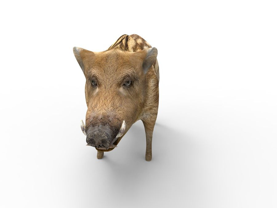 Cinghiale royalty-free 3d model - Preview no. 4