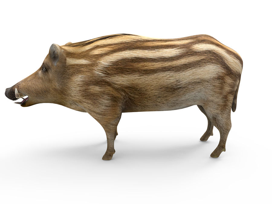 Cinghiale royalty-free 3d model - Preview no. 2
