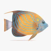 Blue Ring Angelfish 3d model