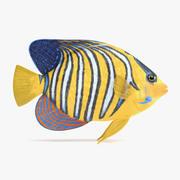 Royal Angelfish 3d model