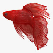 Rode Crowntail Betta Fish Rigged 3d model