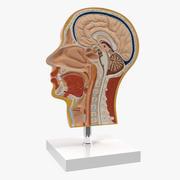 Section du modèle d'anatomie de la tête humaine 3d model