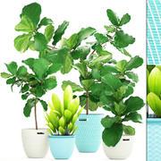 Ficus plantencollectie 3d model
