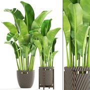 Banan palm 3d model