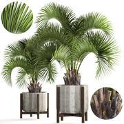 Коллекция пальм Butia Capitata 3d model