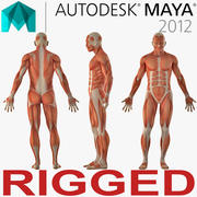 Anatomy Male Muscular System Rigged for Maya 3d model