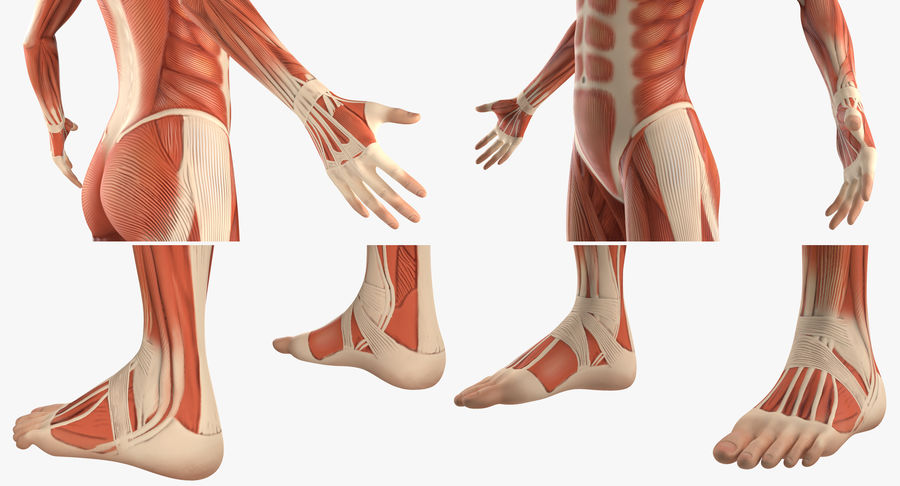 Anatomie du système musculaire féminin royalty-free 3d model - Preview no. 11