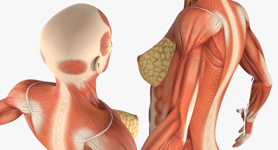 Anatomie du système musculaire féminin royalty-free 3d model - Preview no. 9