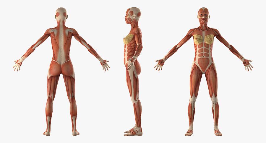Anatomie du système musculaire féminin royalty-free 3d model - Preview no. 3