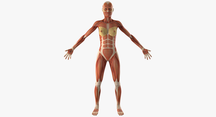 Anatomie du système musculaire féminin royalty-free 3d model - Preview no. 2