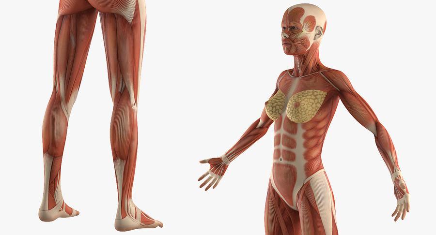 Anatomie du système musculaire féminin royalty-free 3d model - Preview no. 6