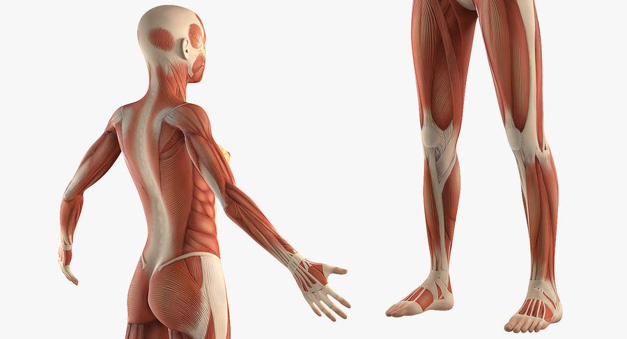 Anatomie du système musculaire féminin royalty-free 3d model - Preview no. 7