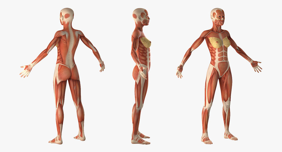 Anatomie du système musculaire féminin royalty-free 3d model - Preview no. 4