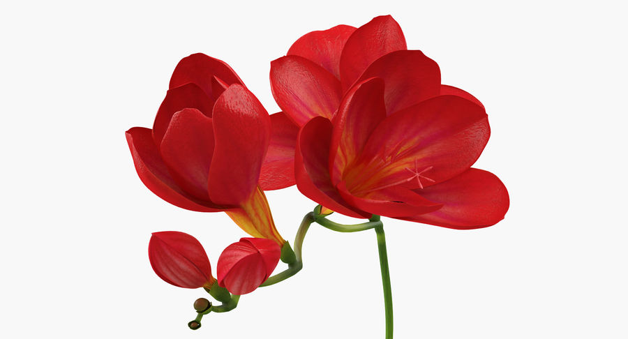 Red Freesia Flower royalty-free 3d model - Preview no. 7