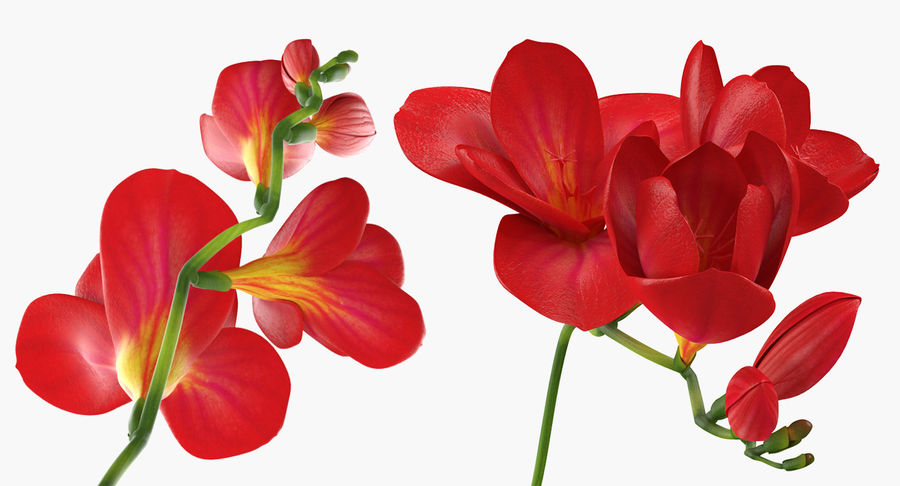 Red Freesia Flower royalty-free 3d model - Preview no. 6