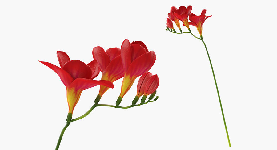 Red Freesia Flower royalty-free 3d model - Preview no. 3