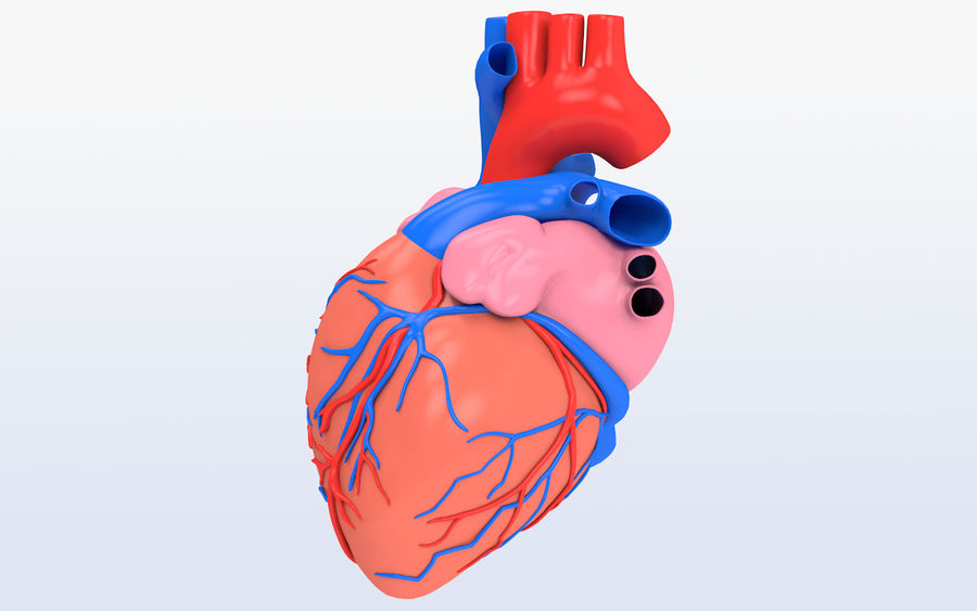 Human heart Anatomy royalty-free 3d model - Preview no. 2