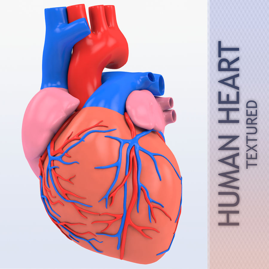 Human heart Anatomy royalty-free 3d model - Preview no. 1