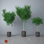 무화과 나무 Benjamina_1 3d model