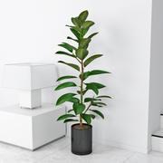 Ficus elastica 3d model
