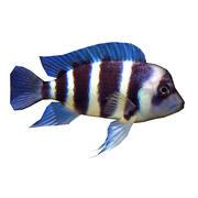 Pesce Fronto 3d model