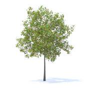 Cherry Tree with Fruit 3D Model 5.7m 3d model