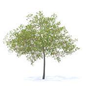 Cherry Tree with Fruit 3D Model 6.5m 3d model