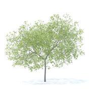 Peach Tree Modello 3D 5.8m 3d model