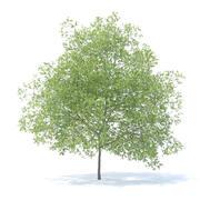 Peach Tree Modello 3D 7.5m 3d model