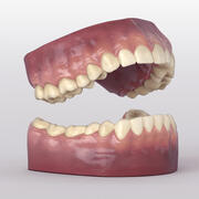 Teeth With Roots And Gums 3d model