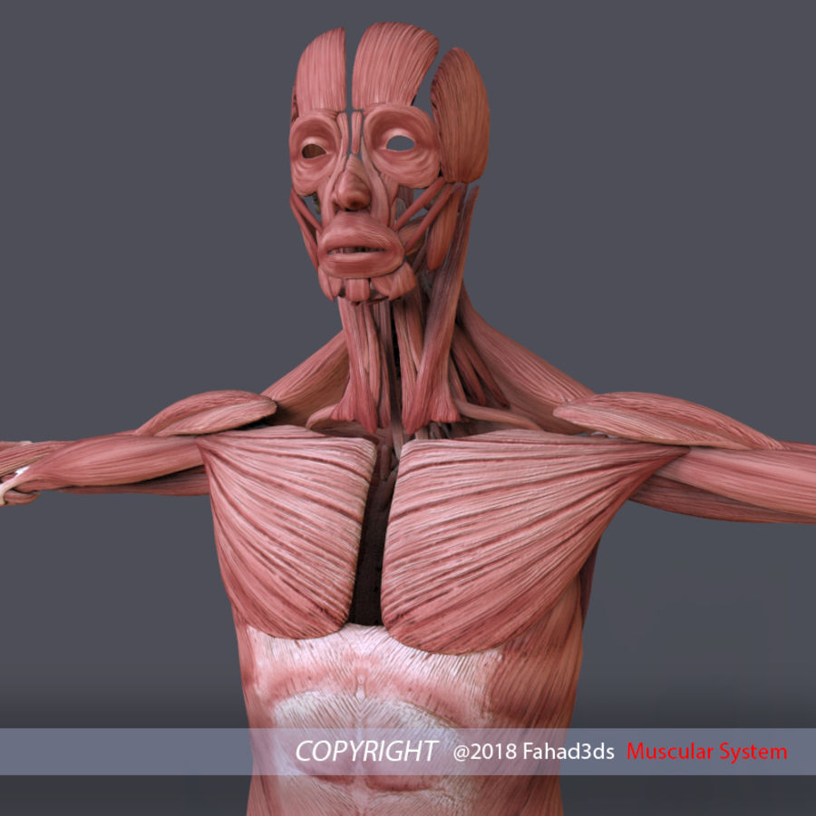 Muscular System 3d Model 42 X 3ds L Obj Fbx Free3d