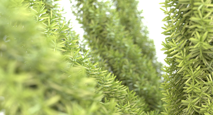 Asparagus Fern 01 royalty-free 3d model - Preview no. 4