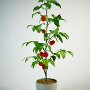 Tomatsolanum i kruka 3d model