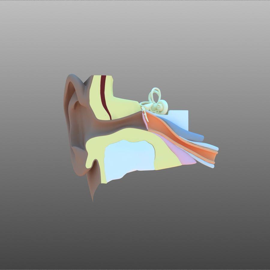 耳朵截面 royalty-free 3d model - Preview no. 2