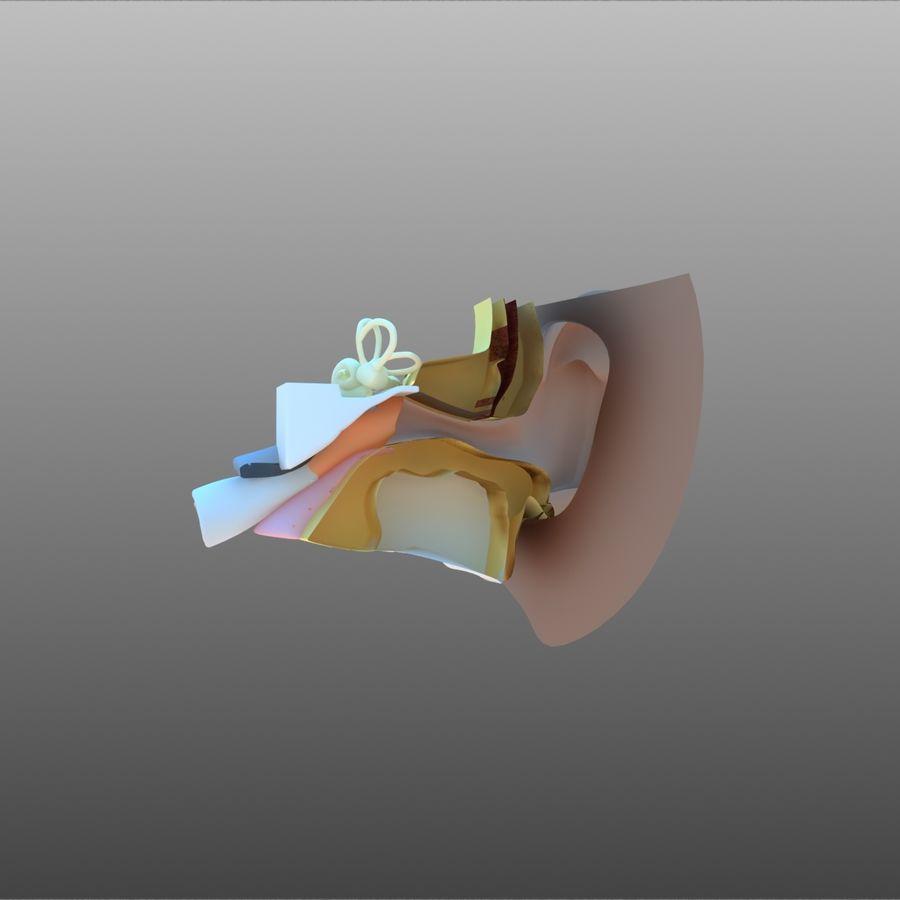 耳朵截面 royalty-free 3d model - Preview no. 3