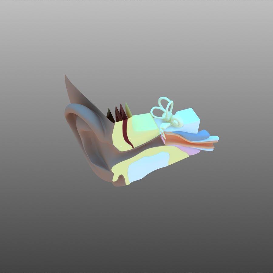 耳朵截面 royalty-free 3d model - Preview no. 5