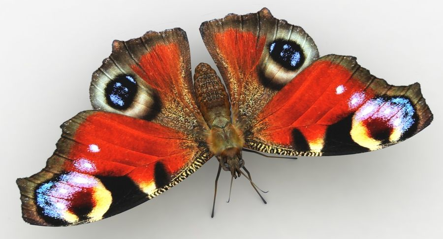 Peacock Butterfly royalty-free 3d model - Preview no. 8