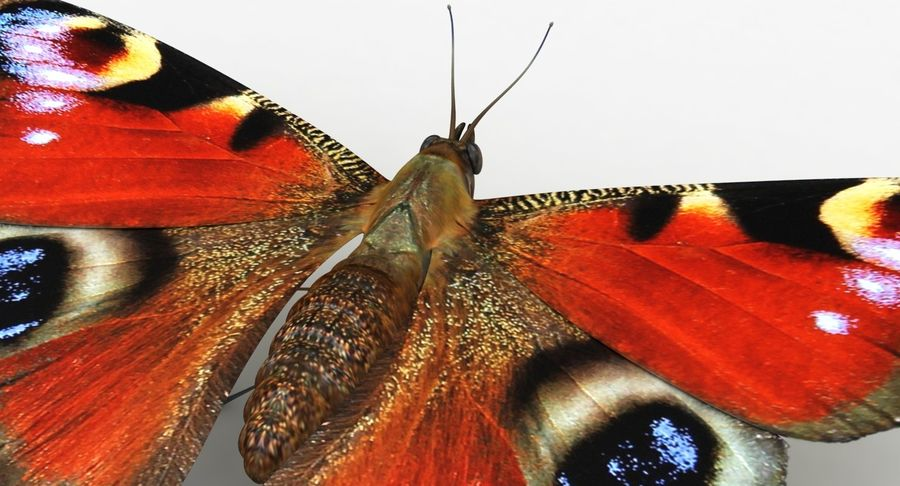 Peacock Butterfly royalty-free 3d model - Preview no. 9