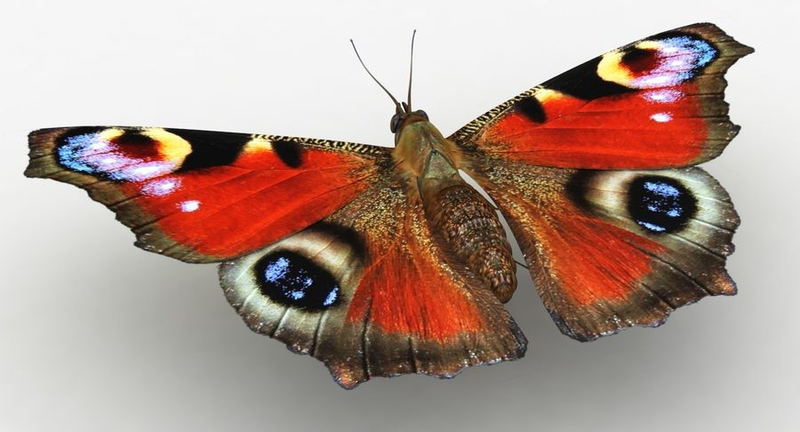 Peacock Butterfly royalty-free 3d model - Preview no. 5