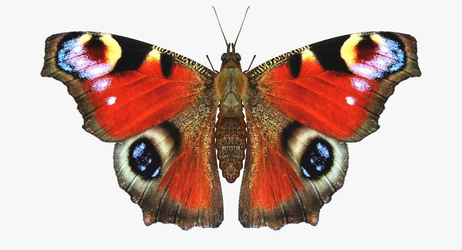 Peacock Butterfly royalty-free 3d model - Preview no. 2