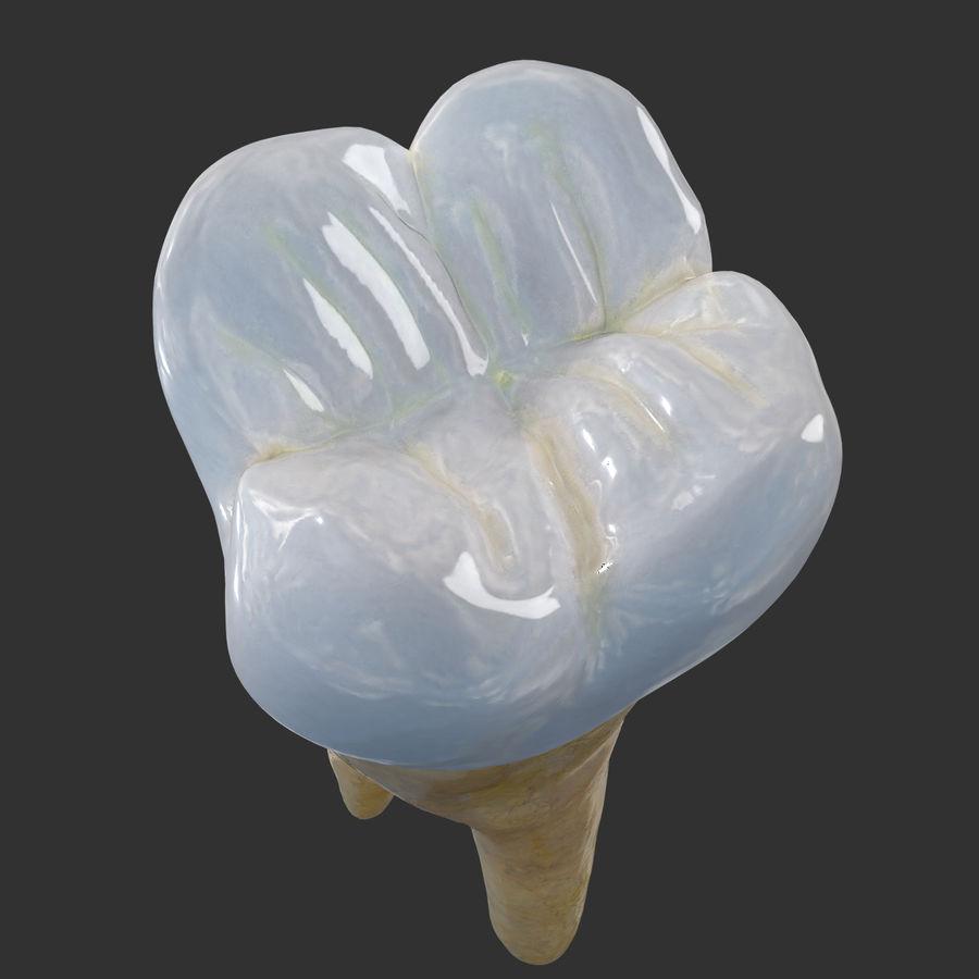 上顎第二大臼歯 royalty-free 3d model - Preview no. 7
