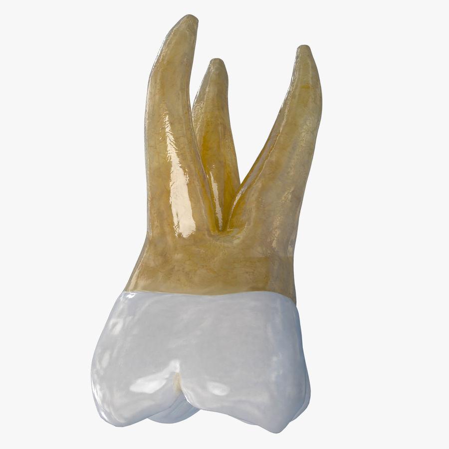 上顎第二大臼歯 royalty-free 3d model - Preview no. 1