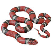Animated Scarlet Kingsnake 3d model