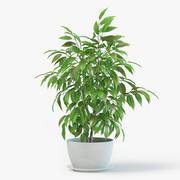 Ficus Plant 3d model