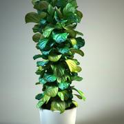 Ficus lyrata fiddle-leaf fig 3d model
