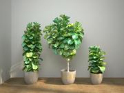 Ficus lyrata conjunto de fiddle-leaf 3d model