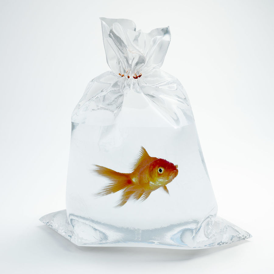 gold fish royalty-free 3d model - Preview no. 1